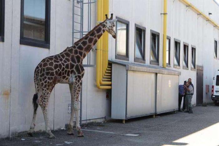Giraffe on The Loose (13 pics)