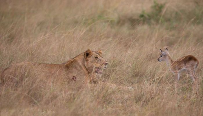 Wounded Lioness Adopts Baby Antelope (11 pics)
