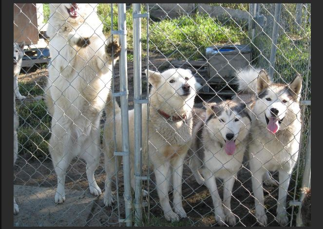 Rescued Husky Compound (12 pics)