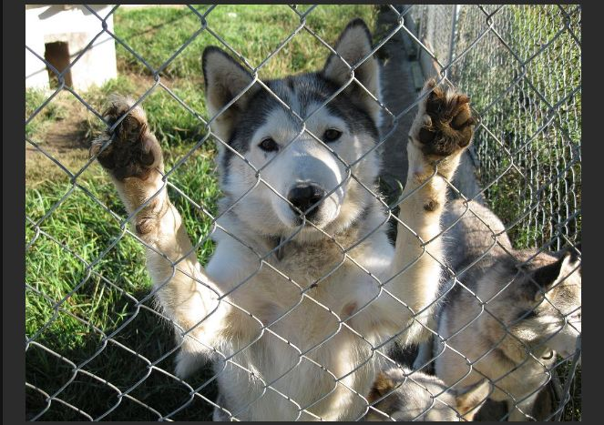 Rescued Husky Compound (12 pics)