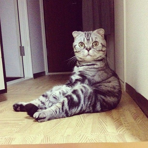 Shishi-Maru Cat is a New Internet Sensation (56 pics)