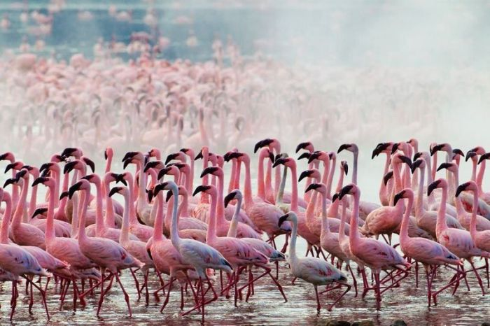 Lake Nakuru's Flamingos (26 pics)