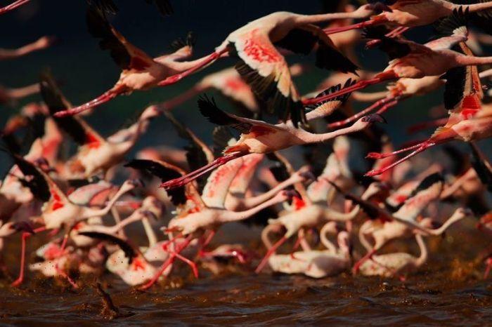 Lake Nakuru's Flamingos (26 pics)