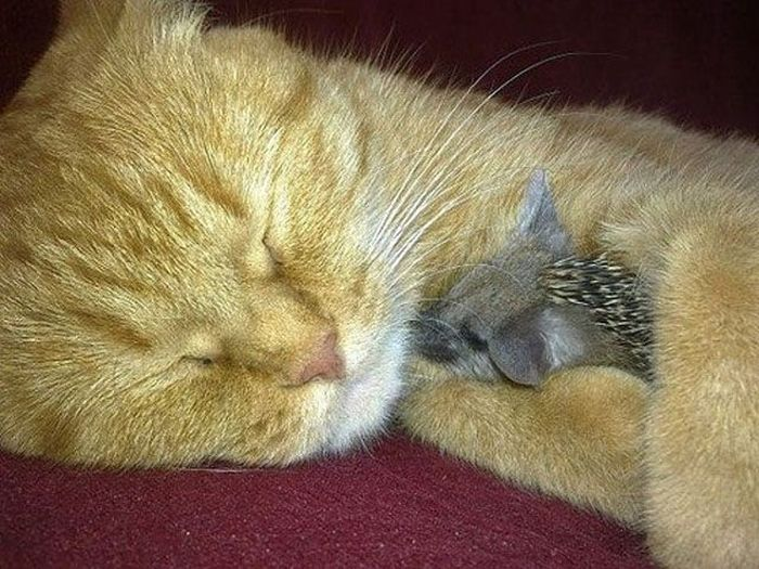New Mom for Baby Hedgehogs (17 pics)