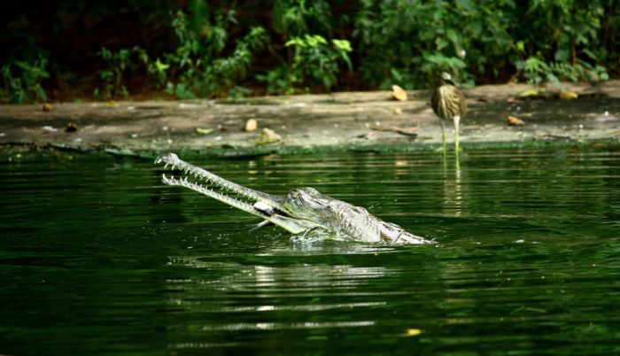 Gharial Photos (19 pics)