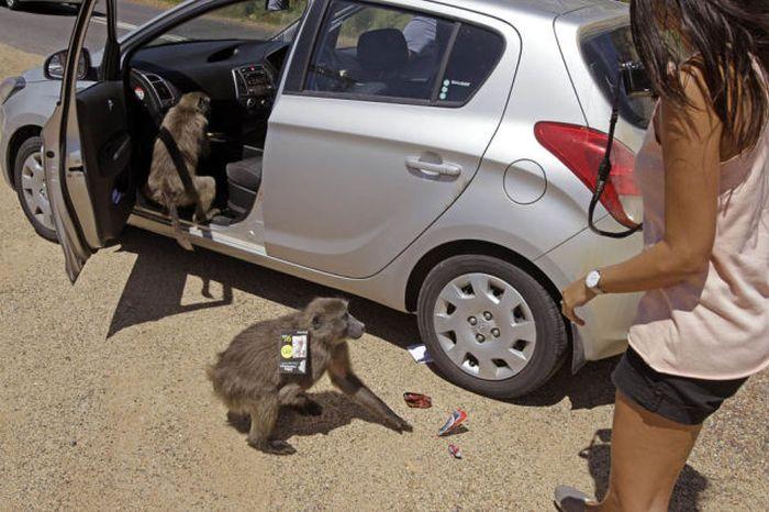 Baboons vs Tourists (23 pics)