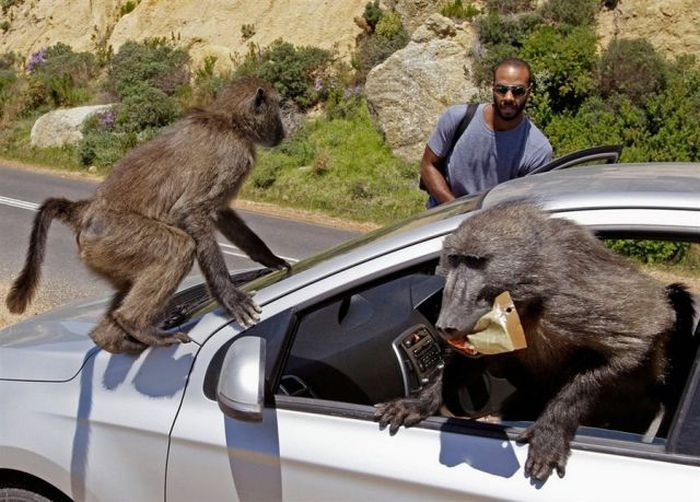 Baboons vs Tourists (23 pics)