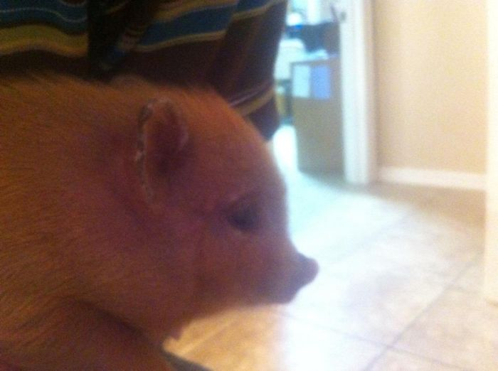 Pet Pig Named Bacon (7 pics)