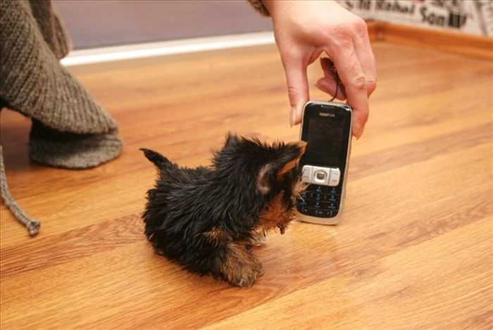 Terrier Meysi is the World's Smallest Dog (11 pics)