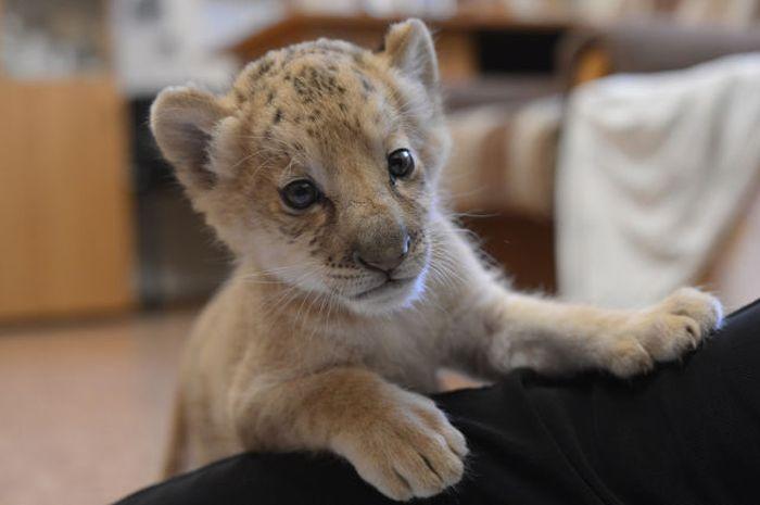Kiara is the First Born Liliger Ever (20 pics)