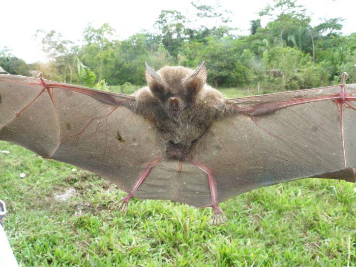 Bats in Peru (13 pics)
