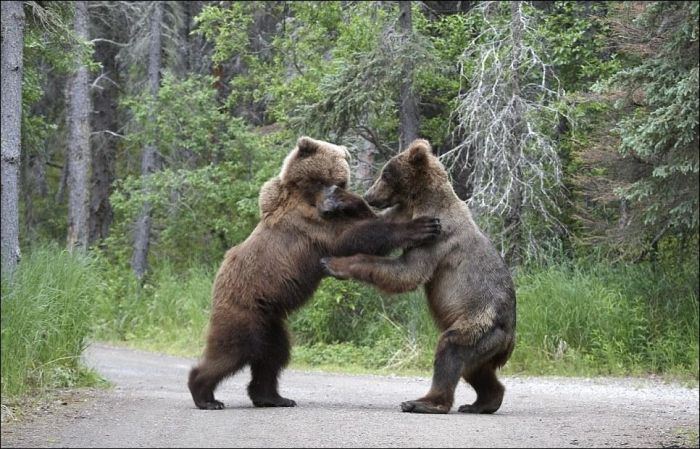 Fighting Bears (9 pics)
