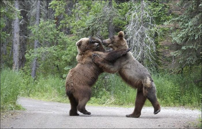 Fighting Bears (9 pics)