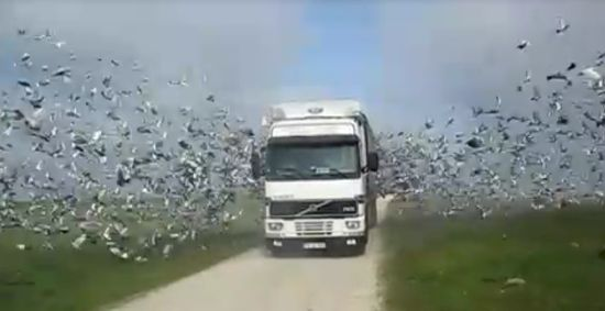 Unbelievable Amount of Birds Flying Away From The Truck
