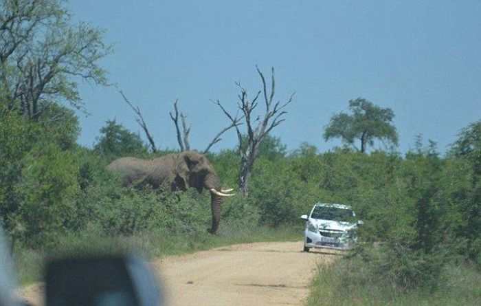 Elephant Who Hates Cars (11 pics)