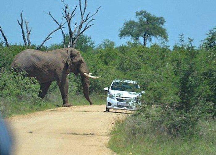 Elephant Who Hates Cars (11 pics)