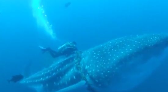 Divers Help The Whale Shark