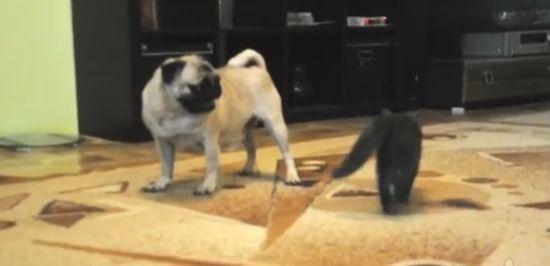 Pug vs Fast Kitten