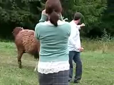 Lama Attacks a Guy