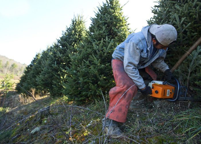 Harvesting of the Christmas Trees (24 pics)