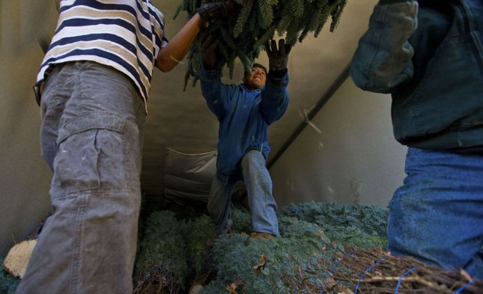 Harvesting of the Christmas Trees (24 pics)