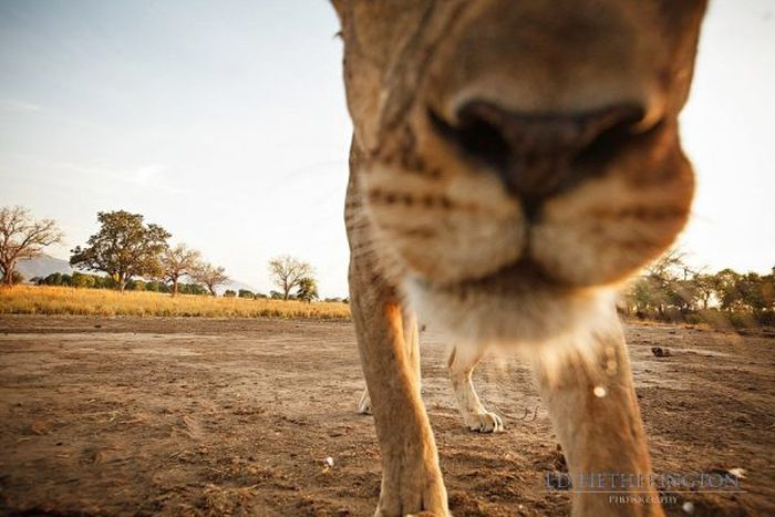 Lion Stealing Camera (9 pics)