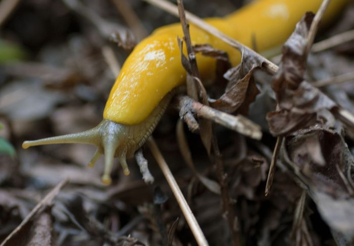 Banana Slug (25 pics)
