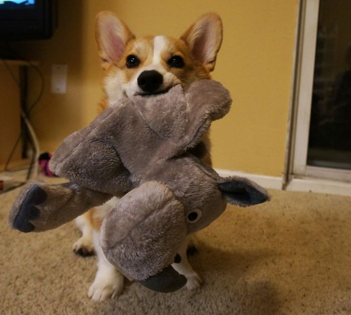 Corgnelius the Corgi (40 pics)