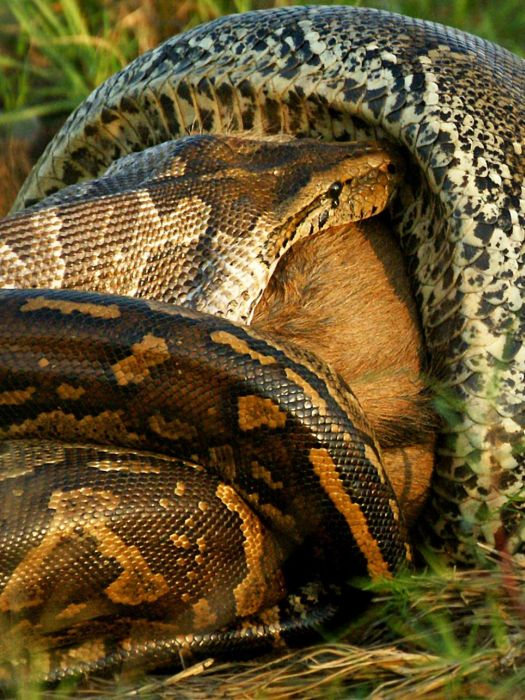 African Python Swallows a Large Prey (7 pics)