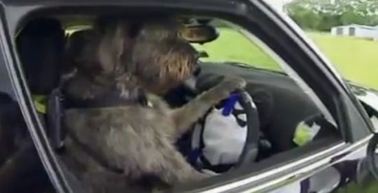 Police Training Dogs To Drive Cars