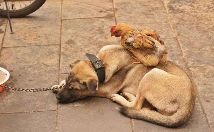 Hen and Dog (6 pics)