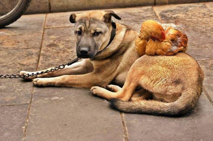 Hen and Dog (6 pics)