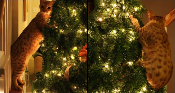 Cats Love Christmas Trees (36 pics)