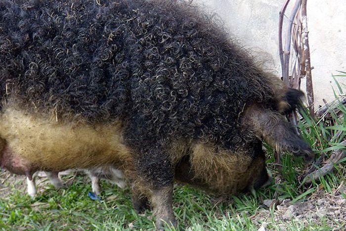 Curly-Hair Ship Mangalitsa (13 pics)