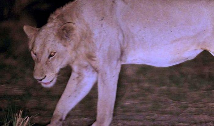Incredible Lion Story (4 pics)
