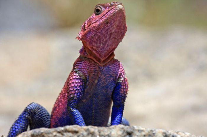 Spider-Man Lizard Agama Mwanzae (10 pics)