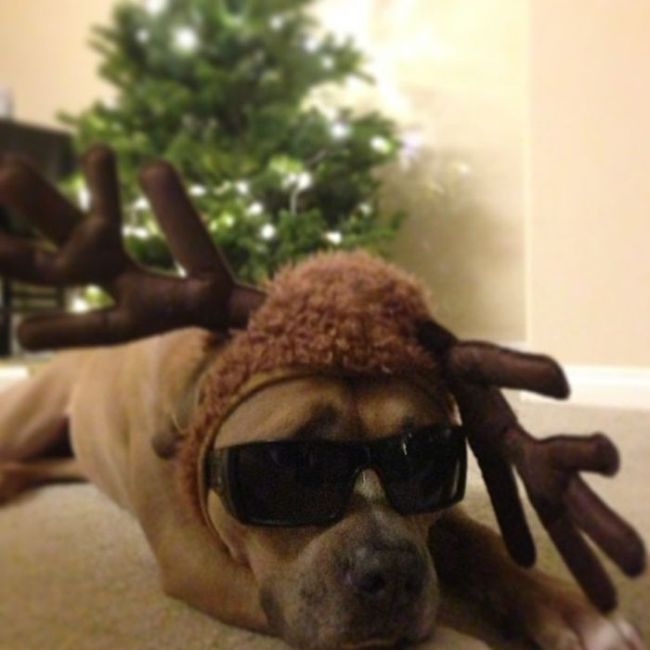 These Dogs Hate Christmas (34 pics)