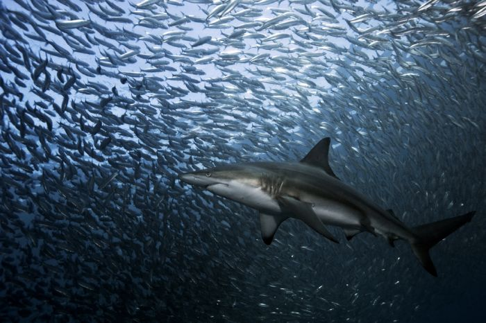 Swimming with Sharks (88 pics)