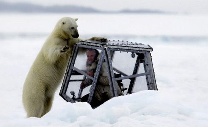 Spectacular Polar Bear Attack (15 pics)