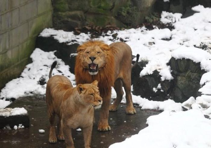 Stupid People vs Two Lions (6 pics)