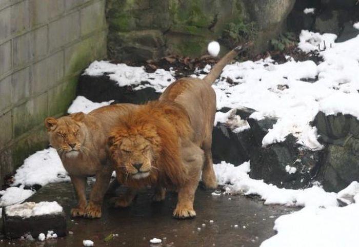 Stupid People vs Two Lions (6 pics)