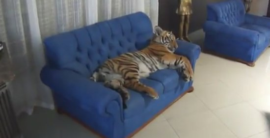 Sweet Home Pet Tiger