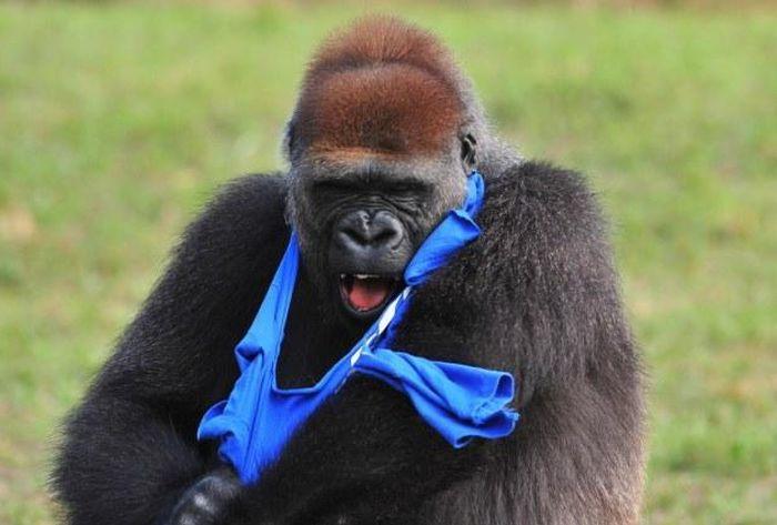 Gorilla vs T-Shirt (7 pics)