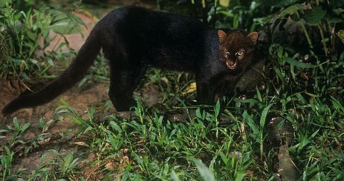 Photos of Wild Cat Jaguarundi (30 pics)