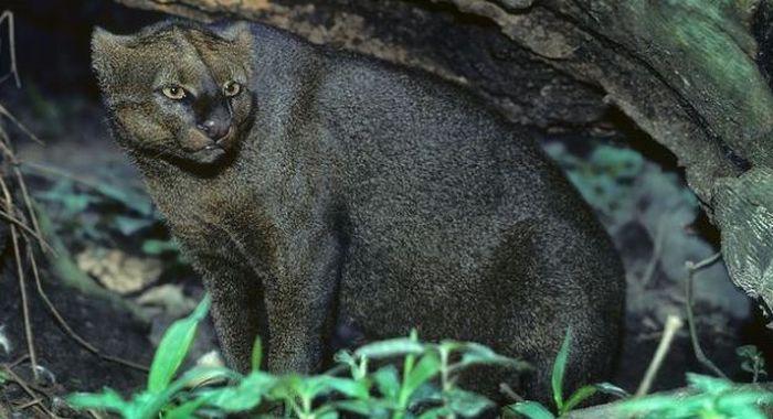 Photos of Wild Cat Jaguarundi (30 pics)