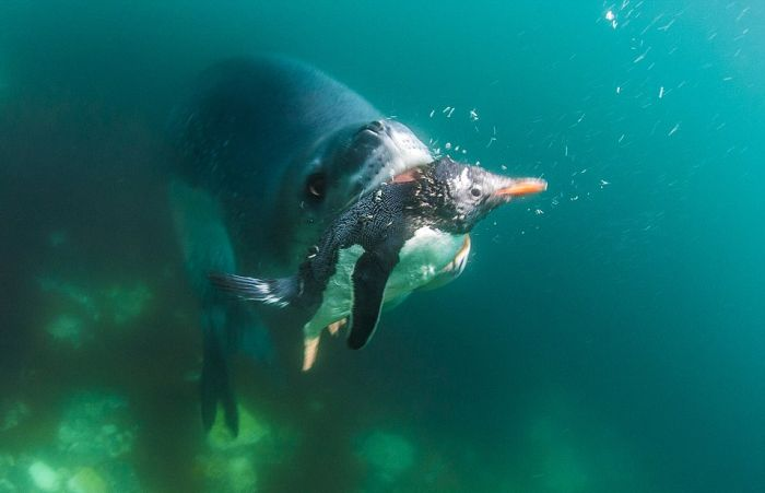 Leopard Seal Eats a Penguin (9 pics)