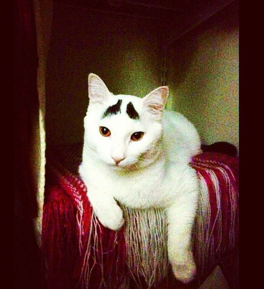 Cat with Eyebrows (30 pics)