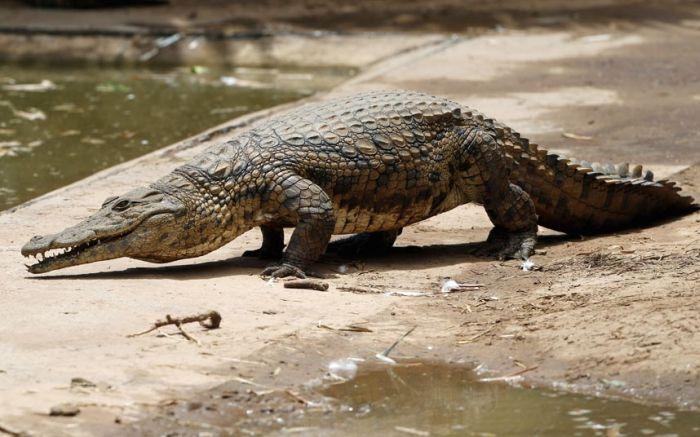 Crocodiles on the Loose (9 pics)