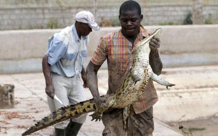 Crocodiles on the Loose (9 pics)