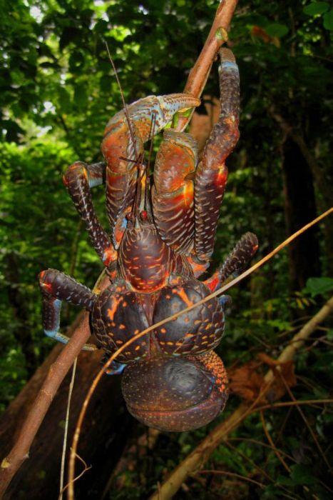 Coconut Crab (33 pics)